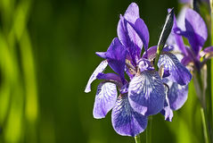 Iris flower Stock Photography