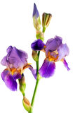 Iris flower Royalty Free Stock Image