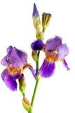 Iris flower. Isolated on white background royalty free stock image