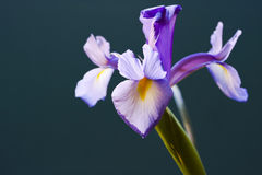 Free Iris Flower Royalty Free Stock Photography - 3868777