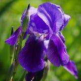Iris Flower Foto de archivo