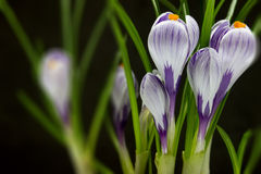 Free Iris Flower Stock Photo - 51408370