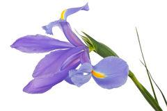 Iris flower. With drops of water on a white background stock images