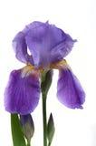 Iris Flower. Beautiful iris flower on white royalty free stock photos
