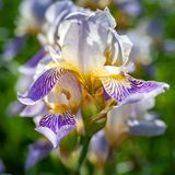 Iris flower. Abstract creative soft image of iris flower closeup during flowering stock photo