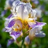 Iris flower. Abstract creative soft image of iris flower closeup during flowering stock photo