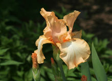 Iris Flower barbue orange avec des bourgeons Images stock