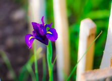 IRIS Flower. Beautiful perplex Flower In the Springtime Stock Images