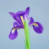 Iris Flower Royalty Free Stock Photo