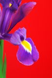 Iris Flower Stock Photo