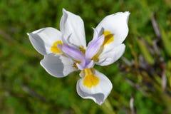 Iris Flower blanca Fotografía de archivo