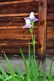 Iris Flower blanche Images stock