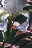 Iris Flower blanche Photos stock