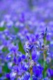 Iris flower. Blooming field of flowers. Irises stock images