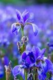 Iris flower. Blooming field of flowers. Irises royalty free stock photos