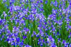 Iris flower. Blooming field of flowers. Irises stock photography