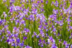 Iris flower. Blooming field of flowers. Irises royalty free stock images