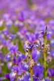 Iris flower. Blooming field of flowers. Irises royalty free stock photo