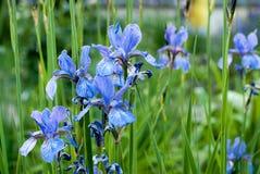 Iris flower blooming in summer time. Summer garden Stock Images