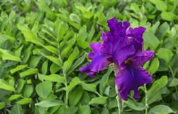 Iris flower. Blooming violet iris, perennial plant of the family Iridaceae.  royalty free stock photography