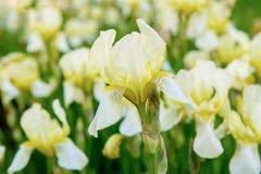 Iris flower blooming. White yellow iris flowers blooming in spring, summer seasonal floral background stock image