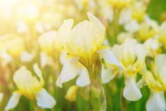 Iris flower blooming. White yellow iris flowers blooming in spring, summer seasonal floral background stock images