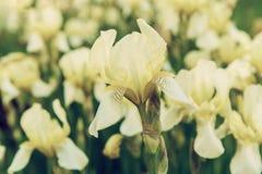 Iris flower blooming. White yellow iris flowers blooming in spring, summer seasonal floral background stock photo