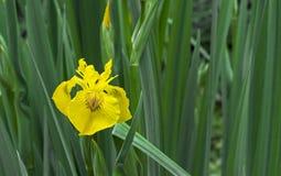 Iris flower. Blooming yellow iris, perennial plant of the family Iridaceae.  stock image