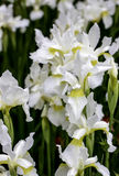 Iris Flower branca Foto de Stock