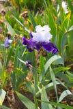 Iris Flower Royalty Free Stock Photography