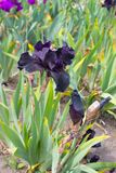 Iris Flower Royalty Free Stock Photos