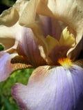 Iris flower close up Stock Images