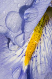 Iris flower close up Royalty Free Stock Photo