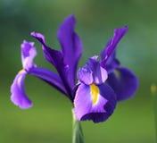 Iris flower close up Stock Photos