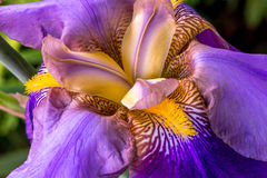 Iris flower. Close up of isolated purple iris in full bloom stock photo