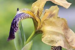 Colorful bearded Iris flower closeup Royalty Free Stock Photos