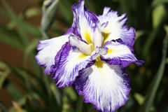 Iris flower Stock Images