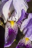 Iris flower closeup. White - blue iris flower extreme closeup royalty free stock images