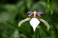 Iris Flower de marche Photos libres de droits