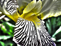 Iris Flower. Detail of an iris flower Royalty Free Stock Images