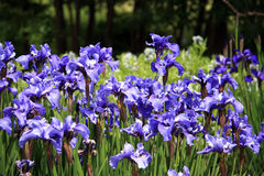 Iris in Flower Garden Royalty Free Stock Images