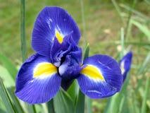 Iris flower. In the garden Stock Photo