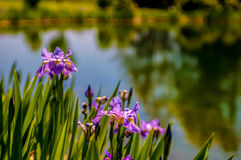Iris flower on green blurred background, photo taken outdoors, s Stock Images