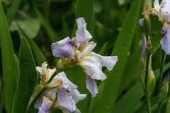 Iris stock image