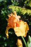 Iris Flower. Growing in the garden Stock Image