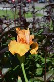 Iris Flower. Growing in the garden Royalty Free Stock Images
