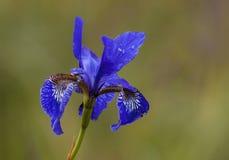 IRIS FLOWER Royalty Free Stock Images