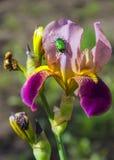 Iris flower. Stock Photos
