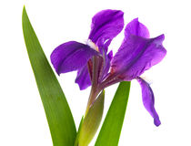 Iris flower isolated Stock Image