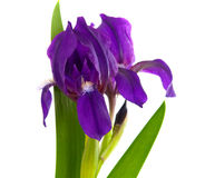 Iris flower isolated Royalty Free Stock Photo